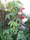 Potempa Farm Garden Green Tomatoes Guarded by Gnome