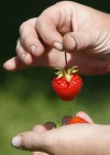 Blueberries, strawberries linked to lower risk of heart attacks in young women