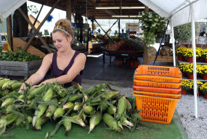 Corn fresh from the field