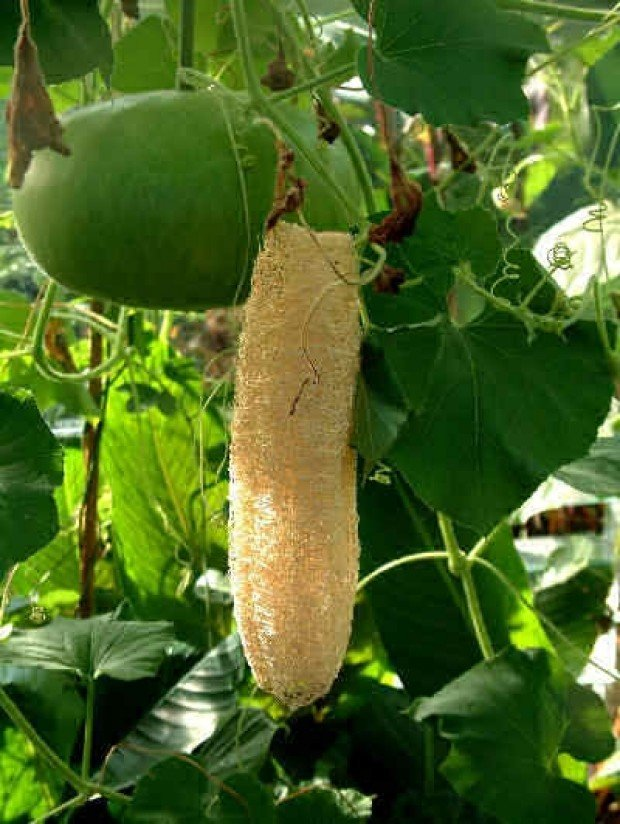 What is luffa?