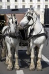 Two Harness Horses