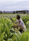 Biomeds: Man cutting tobacco leaves