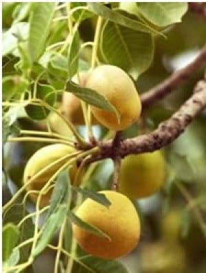 Herbal Healer: What is marula?