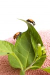 Deploy 'good' insects for garden pest control