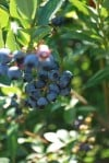 Blueberry season sticks around