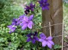 When—and how—to prune clematis