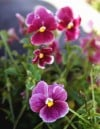 Violas offer dazzling color