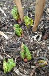 Young Spring Rhubarb Sprouts at the Potempa Farm Garden Patch