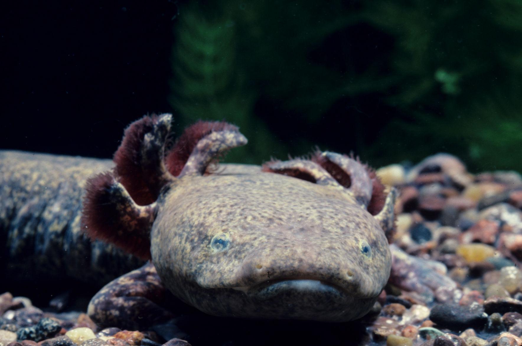 Unbelievable Facts: World's only barking (waterdogs) amphibian ...