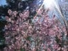 Blossoms and Sunlight at Brincka-Cross Gardens
