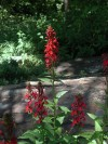The bright red cardinal flower livens up the shade