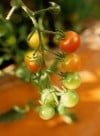 It's tomato planting season