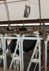 The drought's domino effect may eventually decrease dairy production