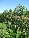 Sweet Corn Patch