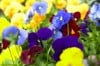 Cool-season landscape begins with pansies and their pals