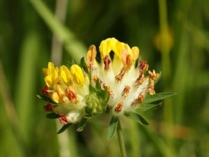 Herbal Healer: What is kidney vetch?