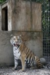'Roy Boy's' tigers thriving in new home