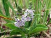 Herbal Healer: What is speedwell?