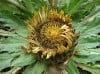 Herbal Healer: What is carline thistle?