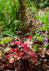 Coral bells' beauty lies in leaves, blossoms alike