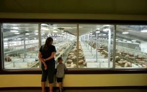 Fair Oaks Farms' latest innovation goes hog wild