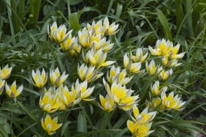 Go wild: Plant species tulips for early color