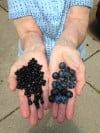 Wild Blueberries aka Huckleberries Compared to Cultivated Blueberry Varieties