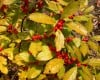 Hedge fun: Purdue CD lists more than 100 of  Indiana's native shrubs