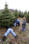 The real thing: Natural Christmas trees bring holiday cheer