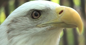 Zoo's eagles are big attraction