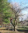 'Renovate' old trees, shrubs with careful pruning