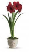 Red amaryllis from Teleflora