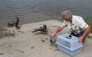 Abandoned mallards nurtured and released by volunteer