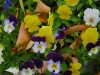 New flower varieties excel at overwintering