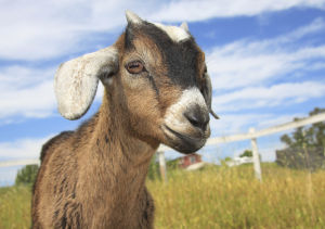 60 Something: One Small Step for Goat