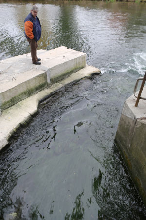 Salmon swim upstream to Hammond Sanitary District