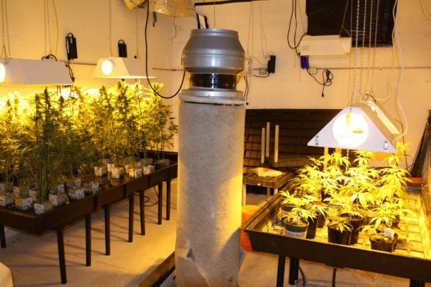 marijuana plants in basement