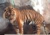 New tiger arrives at zoo