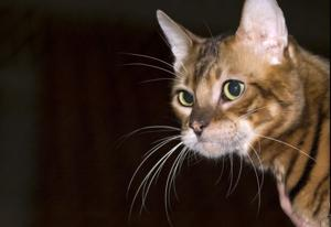 The 23 Cat Breeds That Shed the Most