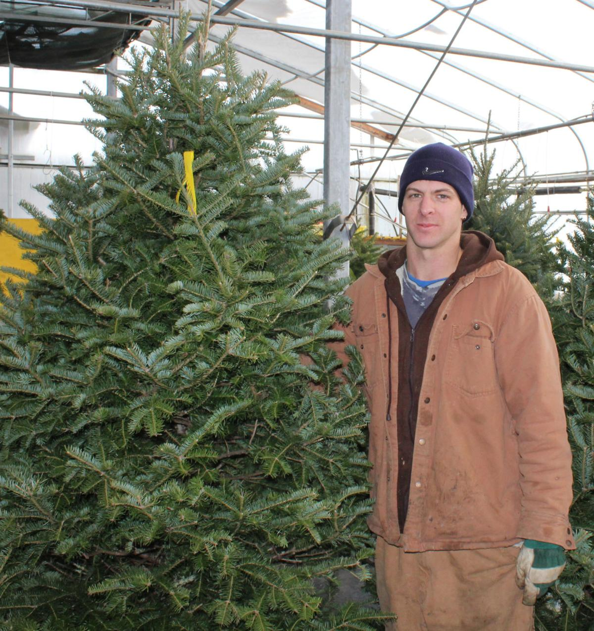Fascinating Tall Christmas Trees In Demand This Season  The Eastern Graphic  With Gorgeous Matthew Freake Stands Up One Of The Christmas Trees For Sale At Tattries  Evergreens Set Up Nabuurs Garden Centre In Brudenell The Early Season Snow  Has  With Agreeable Garden Cottages To Rent In Port Elizabeth Also Round Garden Table And Chairs In Addition Gardens Of Distinction And Ideas For A Sloping Garden As Well As Garden Gnome Molds Additionally Garden Flowers Az From Peicanadacom With   Gorgeous Tall Christmas Trees In Demand This Season  The Eastern Graphic  With Agreeable Matthew Freake Stands Up One Of The Christmas Trees For Sale At Tattries  Evergreens Set Up Nabuurs Garden Centre In Brudenell The Early Season Snow  Has  And Fascinating Garden Cottages To Rent In Port Elizabeth Also Round Garden Table And Chairs In Addition Gardens Of Distinction From Peicanadacom