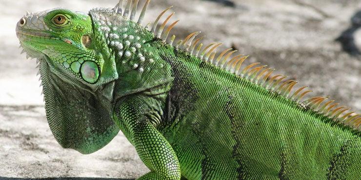 Image result for iguana