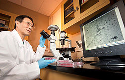 <p>Disease Research: Microbiologist Qingzhong Yu examines recombinant Newcastle disease virus vaccine candidates in infected cells.</p>