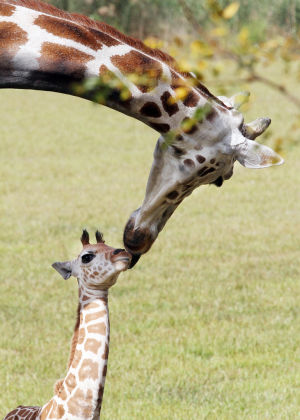 New Arrivals: The baby giraffe gets a nuzzle from it's mother in the savannah. A baby giraffe and bison were born at Cape May County Park and Zoo this summer and the zoo officially introduced them to the public during a ceremony held at the zoo's savannah exhibit, Wednesday Sept. 25, 2013,. (Dale Gerhard Photo/Press of Atlantic City) - Dale Gerhard