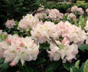 Rhododendron tip midge most likely insect responsible for damage to plant