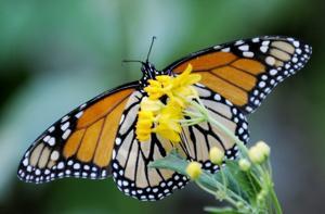 Butterfly Loss
