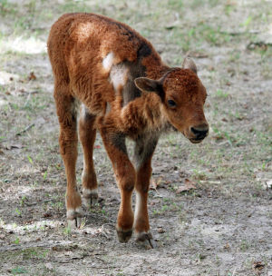 New Arrivals: The baby Bison roams about the pen at the zoo. A baby giraffe and bison were born at Cape May County Park and Zoo this summer and the zoo officially introduced them to the public during a ceremony held at the zoo's savannah exhibit, Wednesday Sept. 25, 2013,. (Dale Gerhard Photo/Press of Atlantic City) - Dale Gerhard