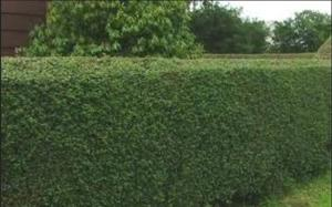 Green Thumbs: Japanese holly bushes add privacy and keep others out of yard