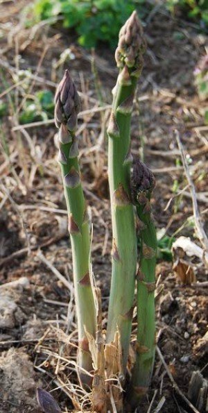 Salt water from Hurricane Sandy should not harm asparagus plants