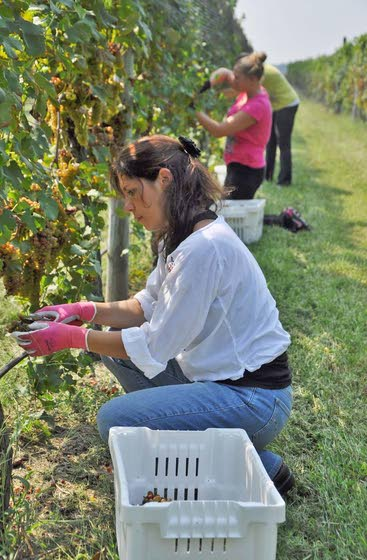 Natali Vineyard lets public try hand  at moving grapes from vine to bottle