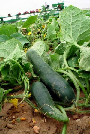 Cucumbers require ample watering and adequate pollination to produce